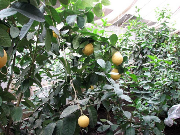 На Київщині знаходиться унікальна бананова ферма