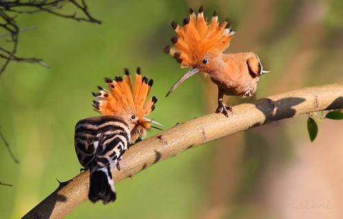Пташка: Одуд: птах-неформал | 320x500